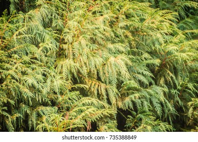 Evergreen Microbiota decussata (Siberian carpet cypress, Russian arbor-vitae) tree background. Microbiota is a monotypic genus of evergreen coniferous shrub in the cypress family Cupressaceae.