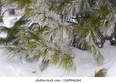 Evergreen needles of a Siberian pine covered with white frost. Season: Winter 2019. Location: Western Siberian taiga.