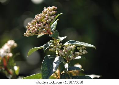 evergreen ornamental bush
