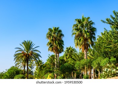 Evergreen palm trees growing in city park