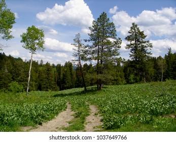 Evergreen path Landcape