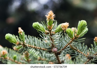 Evergreen pine tree branch with young shoots and fresh green buds, needles. Spring scene soft focus photo