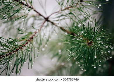 Evergreen pine tree branches with needles and raindrops in high bokeh blurred style and film grain texture