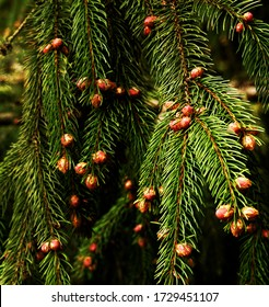 Evergreen pine tree natural background.