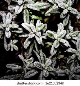 Evergreen plant with leaves covered in ice.