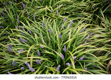 evergreen plant with purple flowers