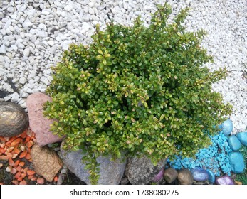 Evergreen round spherical Ilex crenata Convexa or Japanese Holly shrub with small glossy leaves and unopened buds on a flowerbed with colorful little stones
