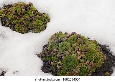 evergreen Sempervivum succulents show up in spring snow