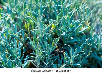 The evergreen shrub of andromeda grows in the garden. Plant for landscape design. Wild rosemary, marshland. Sunny autumn day.