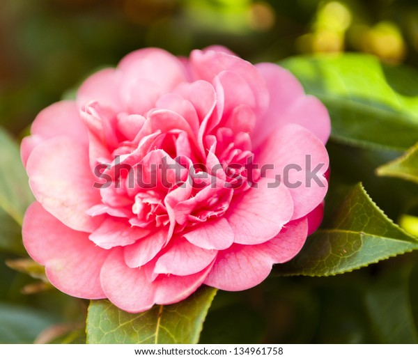 Evergreen Shrub Large Pink Flowers Spring Stock Photo Edit Now