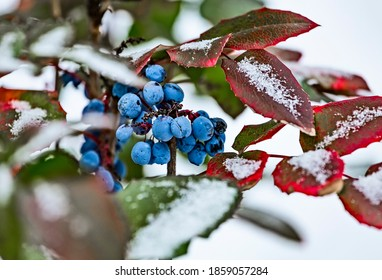 Evergreen shrub Mahonia aquifolium (Oregon-grape or Oregon grape), blue fruits and green and red leaves in winter covered by snow