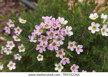 Evergreen Shrub Pink White Flowers Stock Photo Edit Now 789142366