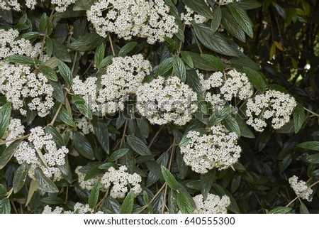 Evergreen Shrub White Flowers Stock Photo Edit Now 640555300