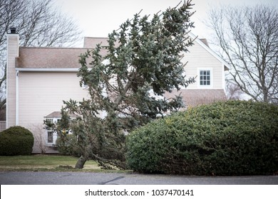 An evergreen tree is falling down in a front yard after a bomb cyclone Nor'easter hit New England with heavy winds and rain.  The large storm ripped large trees from their roots with high winds.