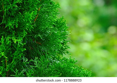 Evergreen tree half-frame closeup with low depth-of-field