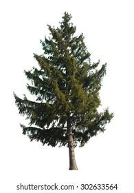 evergreen tree isolated on white background