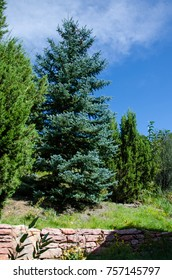 Evergreen Tree on a Landscaped Hill