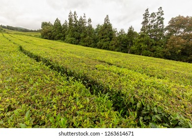 Evergreen trees behind rows of tea shrubs at the Gorreana tea plantation in Sao Miguel, Portugal.