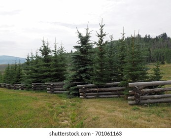 evergreen trees by a log fence