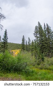 Evergreen Trees in a Forest Clearing