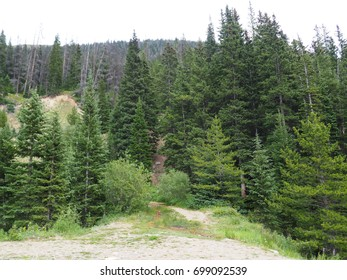 evergreen trees growing in the mountains in Colorado