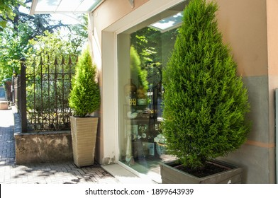 Evergreen trees in the vases in front of the shop