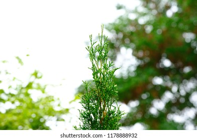 Evergreen Treetop in front of Sky and Trees