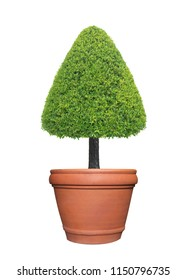 Evergreen triangle shape trimmed topiary tree in terracotta pot container isolated on white background for formal Japanese and English style artistic design garden