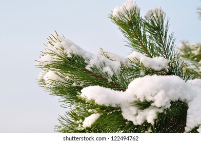 Evergreen twig covered with snow.