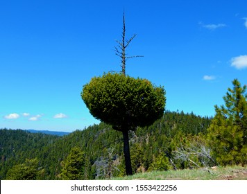 Evergreen View - A peculiarly shaped hemlock tree on the ridge north of Hash Rock - Ochoco Mountains - near Prineville, OR