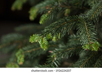 Evergreen wood's branches close up