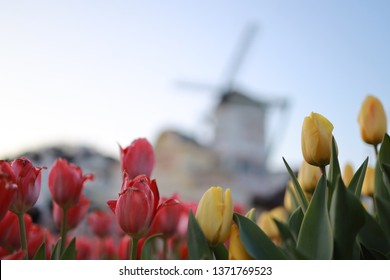 Everland Tulip Festival at Everland Theme Park from March to April each year. Tulips in 100 different varieties including Apeldoorn, Synaeda Blue and Pink Diamond will be on display
