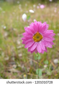 Everlasting daisy Mt Trio Stirling Range National Park