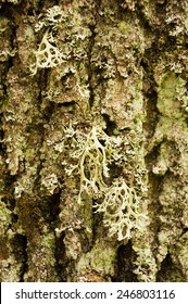 Evernia Prunastri  (L.) Ach. (Oakmoss)