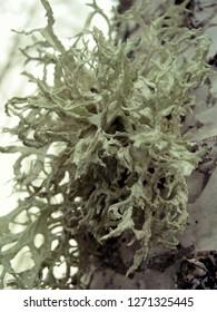 Evernia prunastri lichen growing on birch trunk