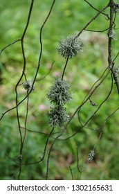 Evernia prunastri lichen on thin branches of tree on green blurred background