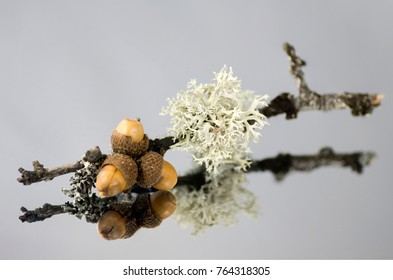 Evernia prunastri, oak lichen