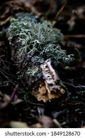 Evernia prunastri (oakmoss) on the fallen tree branch
