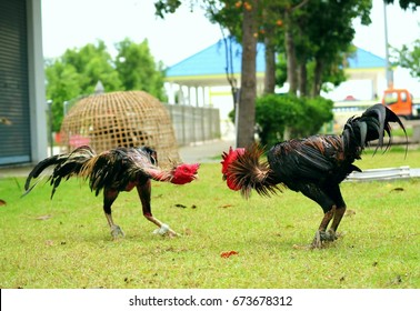 every morning fighting cocks in action to warm up for cockfighting game