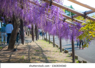 Every year, Toba Water Treatment Plant, located in Japan's Kyoto City, is specially opened to the public in the spring season for people to enjoy its 120 meter long wisteria trellis.