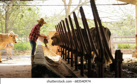 Everyday life for farmer with cows in the countryside. Peasant work in South America with livestock in family country ranch. Manual job with man feeding cattle in small farm.