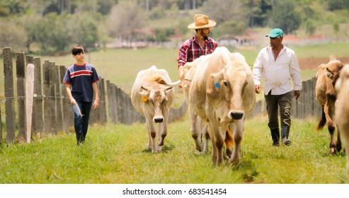 Everyday life for farmer with cows in the countryside. Peasant work in Latin America with livestock in family ranch. Grandpa, dad and son grazing cattle.