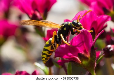 the evil wasp sitting on a pink flower