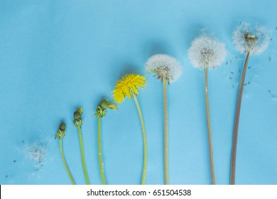 Evolution concept, phases of dandelion growing, blue paper background.