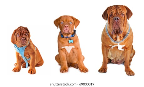 Evolution. Group of the dogs of different size/ age wearing different dog's accessories (collar, chain, harness)