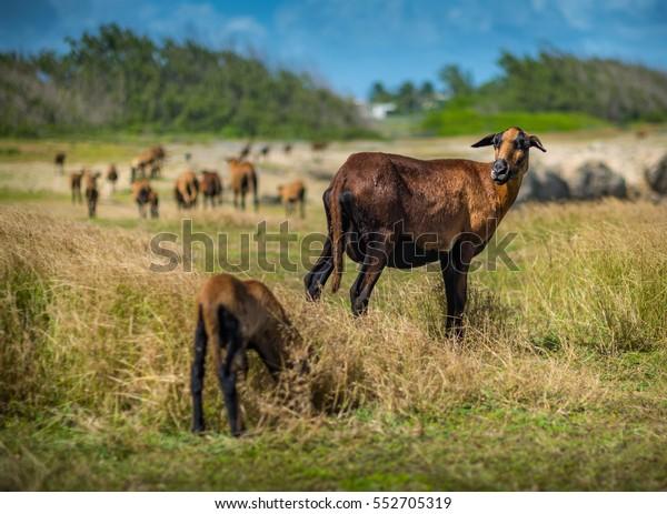 Ewe Barbados Blackbelly Sheep Waiting On Stock Photo (Edit Now