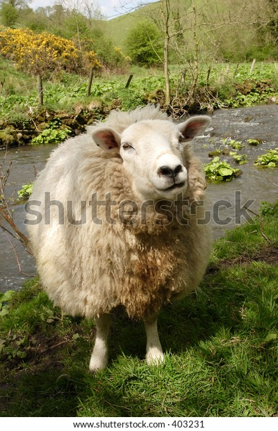 A ewe by the river Dove in England