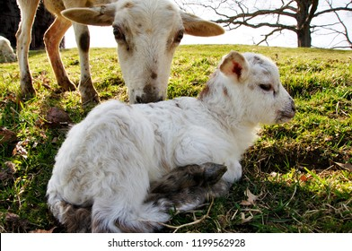Ewe checking on newborn lamb, Katahdin and Barbados Blackbelly breed mix, family farm, Webster County, West Virginia, USA