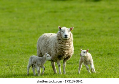 Ewe, a female sheep with her twin newborn lambs in Springtime.  Facing forward in green meadow.  Concept: a mother's love.  Landscape, Horizontal. Space for copy. Yorkshire Dales. UK