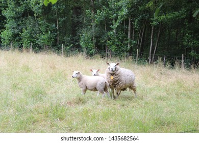 Ewe with her two youngsters in a meadow with tall grass and beautiful trees.